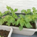 【家庭菜園6】4種すべて収穫完了&ダイエットのモチベーション